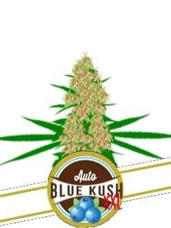 Auto Blue Kush XXL
