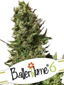 Ballerblume 6