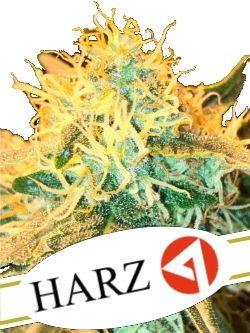 Harz 4