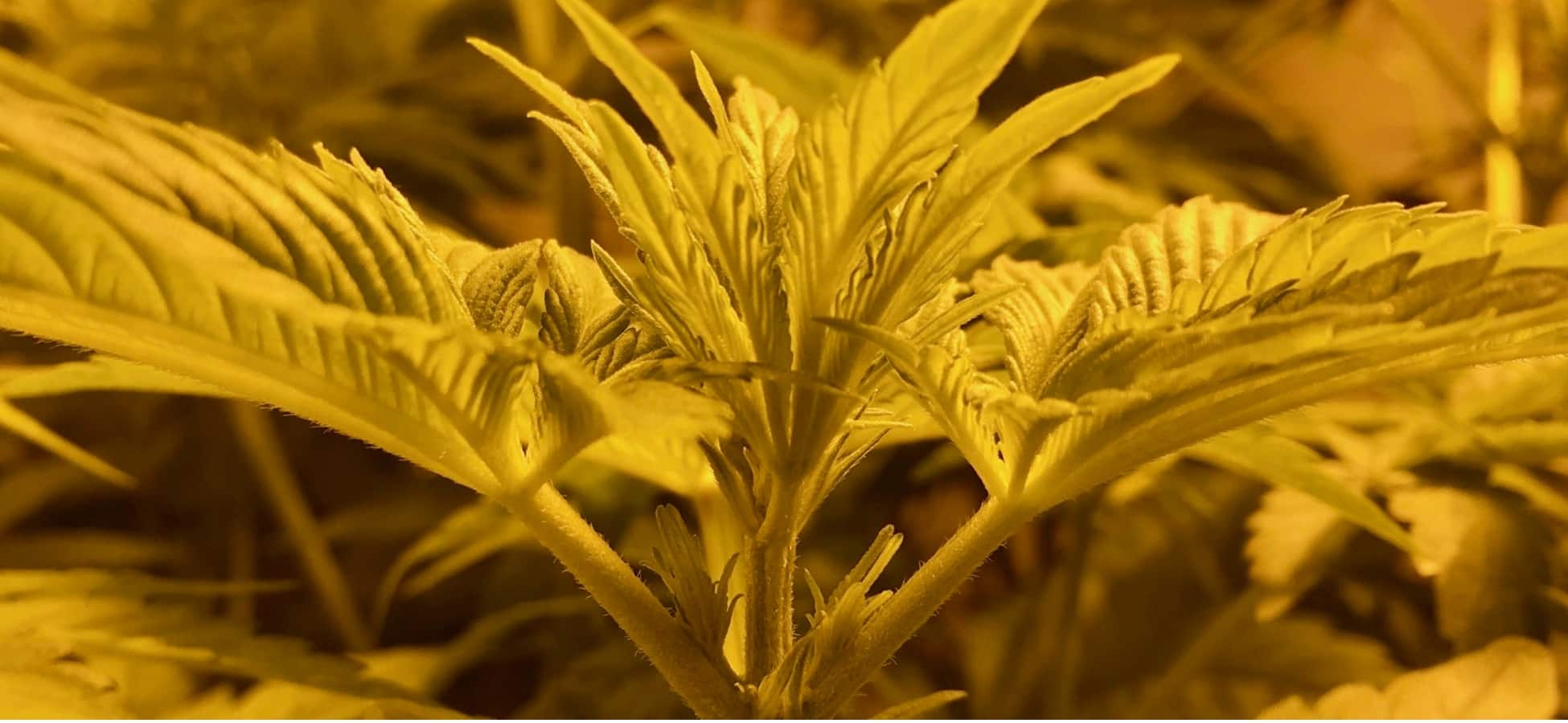 Semillas de Marihuana online