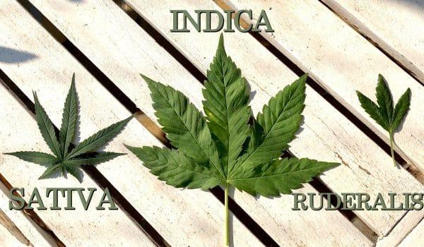 Indica Sativa Ruderalis