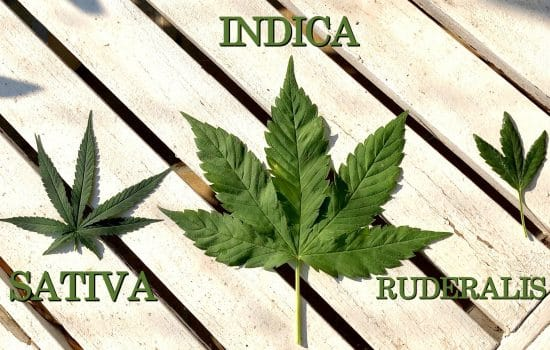 The difference between: Sativa, Indica and Ruderalis