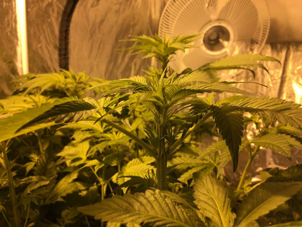 growing cannabis indoors - venting