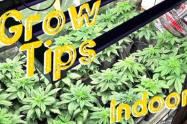 Growing cannabis indoors – A complete growguide