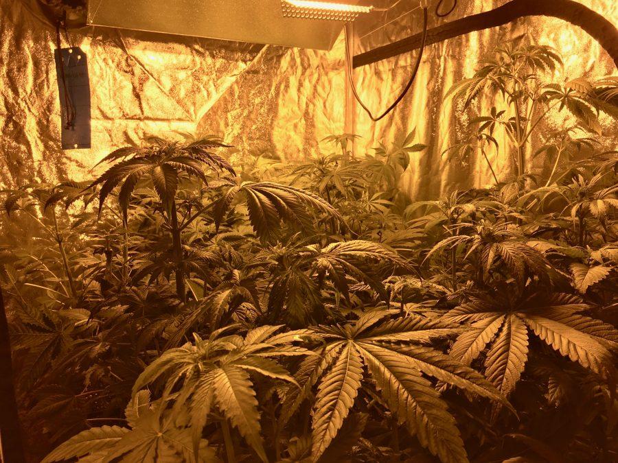 Cultivar marihuana interior
