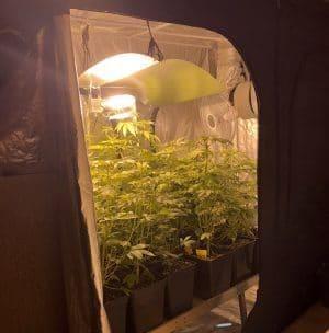Cannabis Anbau indoor Growtent