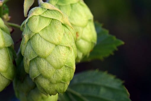 The relationship between hops and cannabis - Mallorca-Seeds